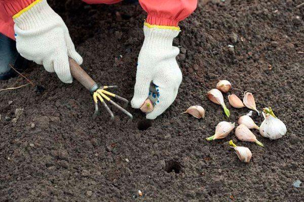 Не стоит слишком углублять зубки в землю, так как это затормозит образование корневой системы
