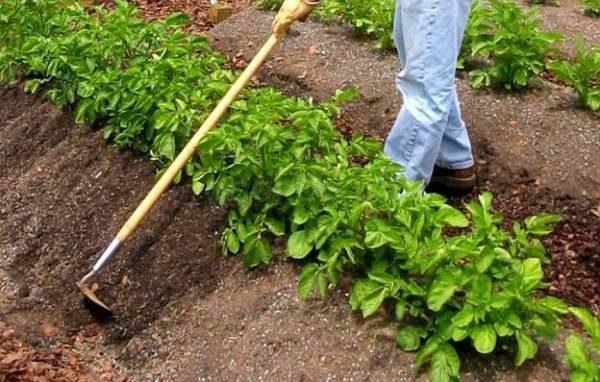Рыхление почвы и окучивание картофельных грядок