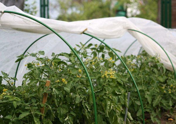 Выращивание томатов в парнике