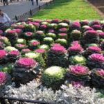 Декоративная капуста в дизайне газонов