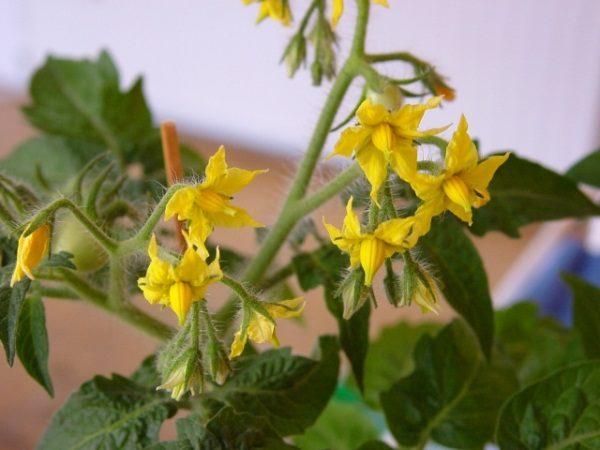 Улучшить способность томата к самоопылению поможет проветривание