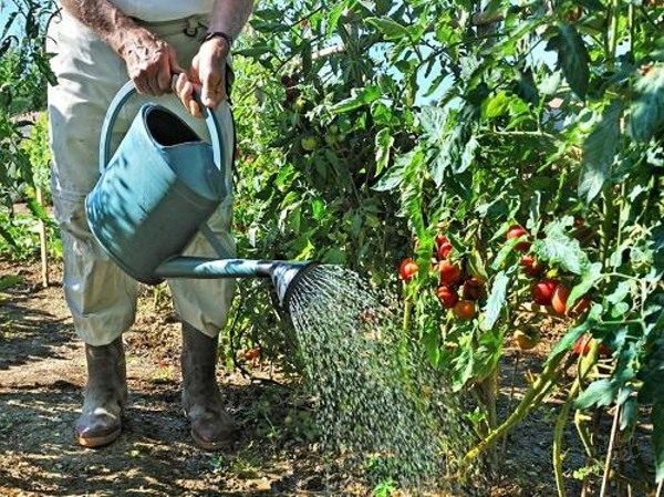 Правильно поливать помидоры в открытом грунте очень важно для роста и завязывания плодов