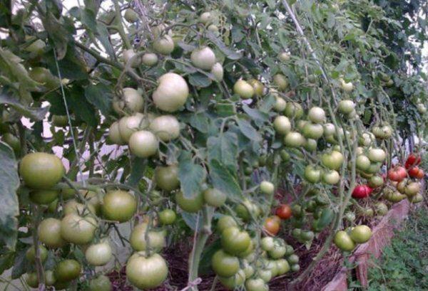 Кусты томата Пинк Буш с плодами