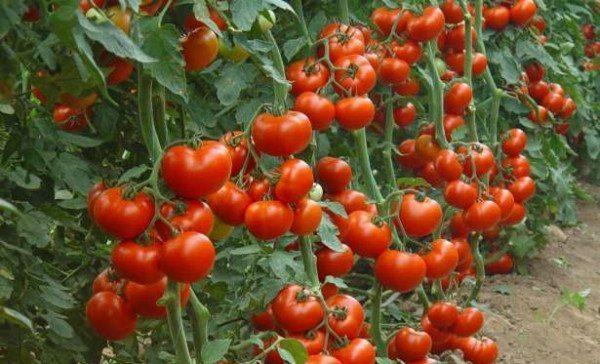 Ультраранние сроки созревания томата Дебют позволяют садоводам избежать поражения плодов фитофторозом