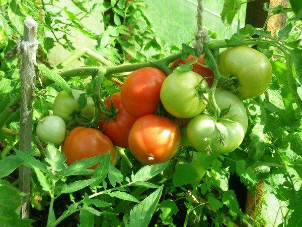 При выращивании томатов Чудо рынка в теплице урожайность снизится