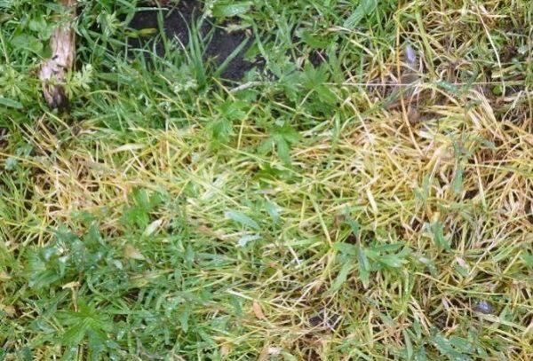 Результат действия гербицида Титус