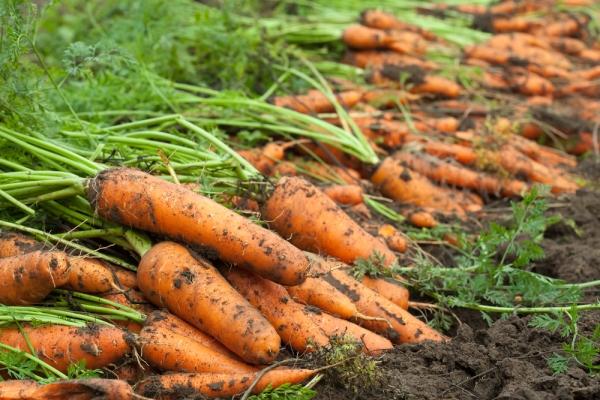 В сухой день собрать урожай, обрезать ботву, просушить морковь