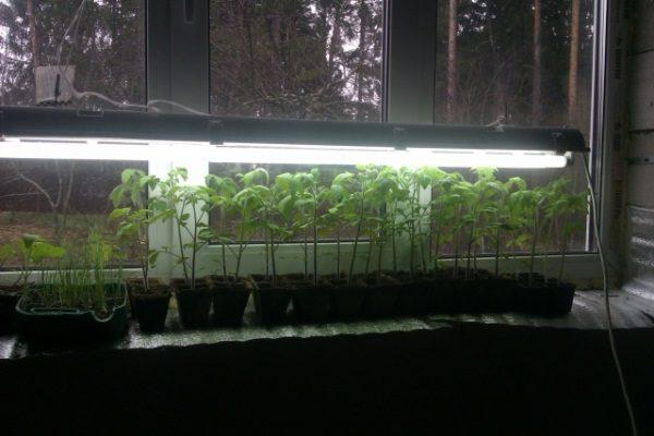 При недостатке солнечного света для комнатных помидор оборудуется дополнительная подсветка