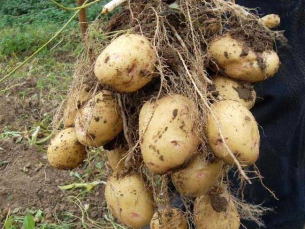 Характеризуется высокой урожайностью, с одного кустика можно получить около десятка средних и крупных клубней
