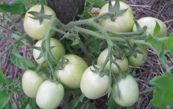 Созревание томатов Земляк происходит спустя 95-100 дней после высадки посевного материала