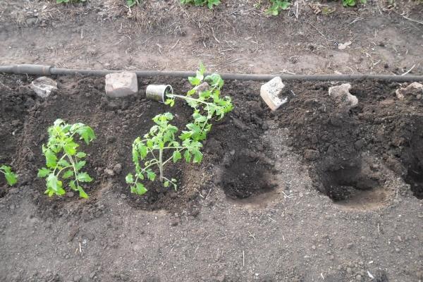 Перед высадкой рассаду закаляют, сажают в грунт по схеме 70×30