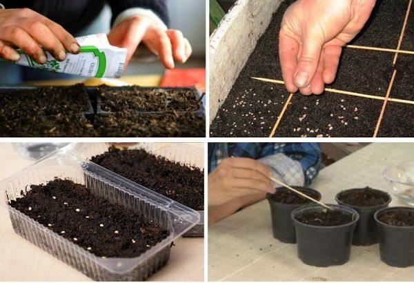 Высадка семян томата Дебют на рассаду