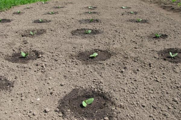 Кабачки можно выращивать ленточным или гнездовым способом