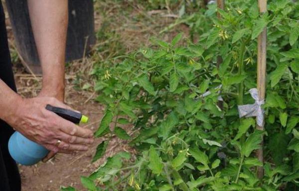 Для профилактики фитофтороза и других болезней опрыскивание томатов бордоской жидкостью проводят с конца июня – начала июля