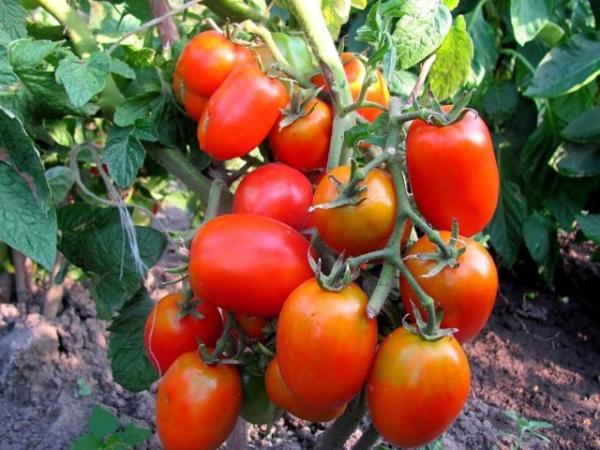 Гибридный среднеранний сорт, может выращиваться как на грядках, так и в теплицах