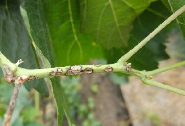 Оливковая пятнистость на дыне