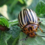 Колорадский жук -самый опасный вредитель баклажанов