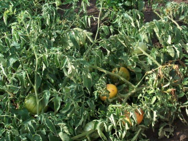 Во избежание заболеваний помидоров кусты томатов Торбей необходимо вовремя обрабатывать фунгицидами
