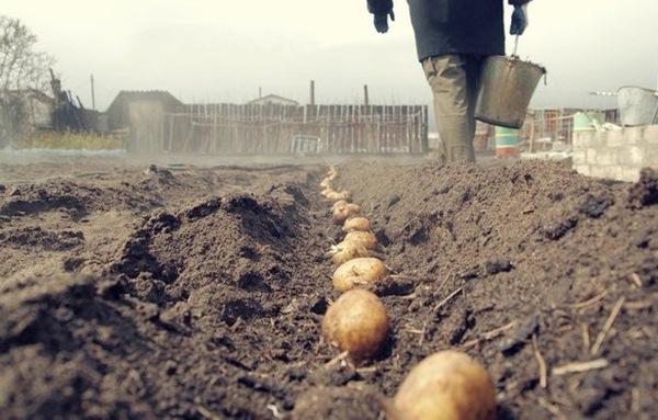Посадка картофеля в Ленинградской области