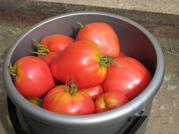 Сбор урожая томата Мазарини ведется в течение всего сезона по мере созревания плодов