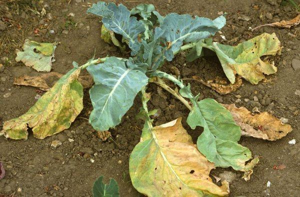 почему у капусты желтеют и сохнут листья
