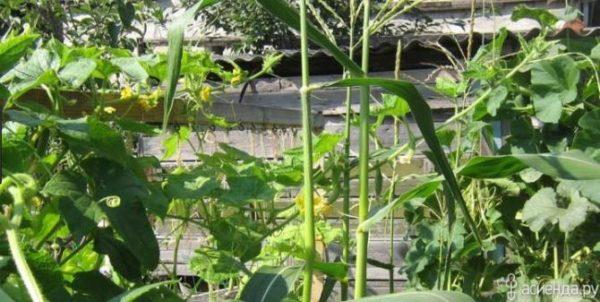 Когда кукуруза подросла, огурцы стали за неё цепляться