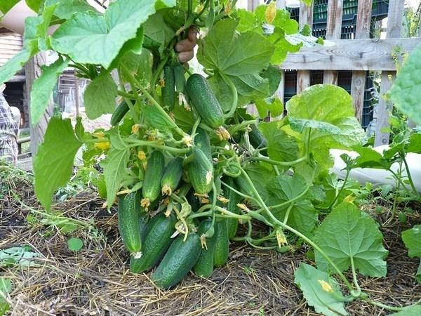 Выращивание огурцов осенью 12