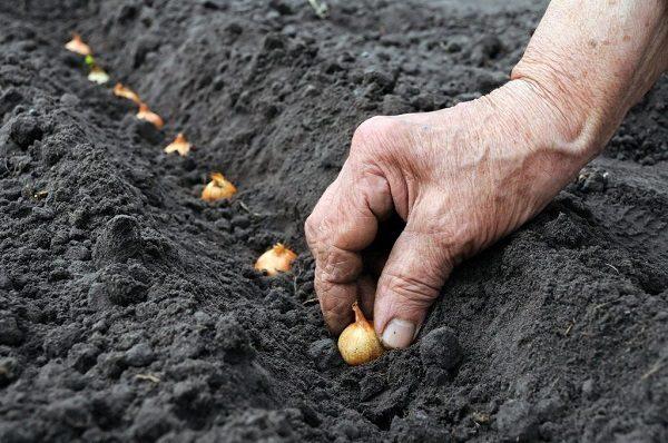 Подготовка севка к посеву: температура и схема посадки