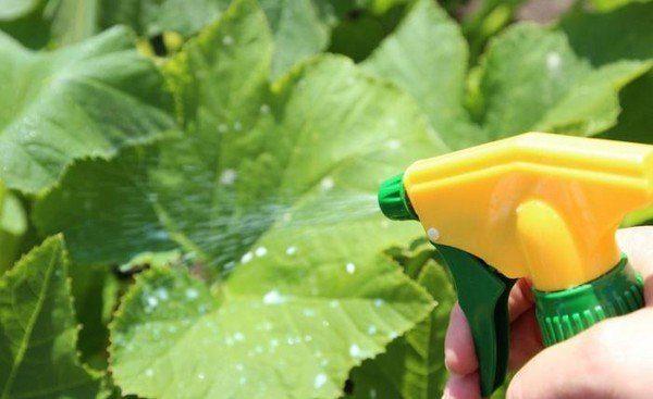 Внекорневые подкормки огурцов играют важную роль на протяжении формирования плодов