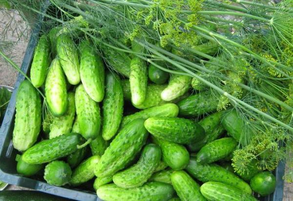Плоды огурцов сорта «Конкурент»