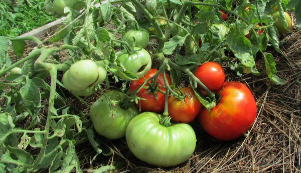 Если хочется вырастить сорт повторно, придется извлечь семена из спелых и здоровых плодов самостоятельно
