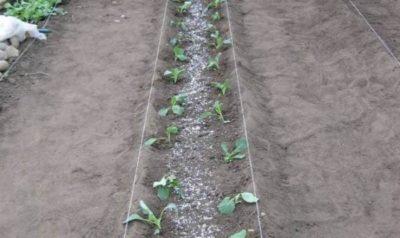 Можно ли в тени сажать капусту 100