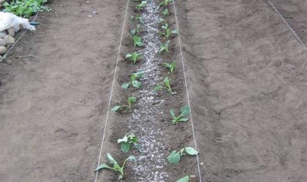Посадка капусты рассадным способом, простая схема
