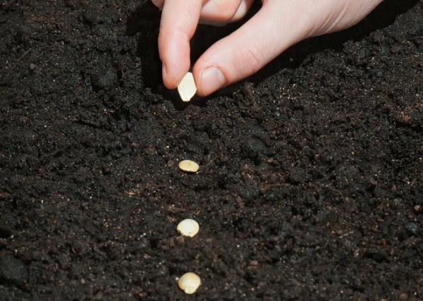 Цукини высаживают рассадным способом, кабачки высаживают семенами и в укрытии они не нуждаются