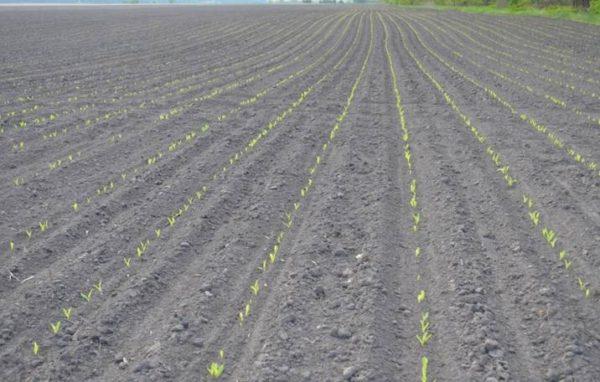 Посевы, обработанные почвенным гербицидом
