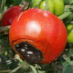 Признаки вершинной гнили томата