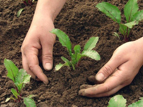 Свекла Пабло требует частой прополки и рыхления почвы