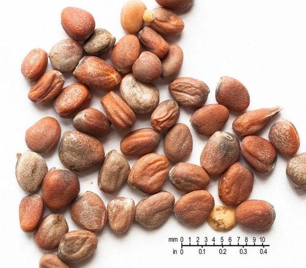 Семена редиса должны быть однородного коричневого цвета