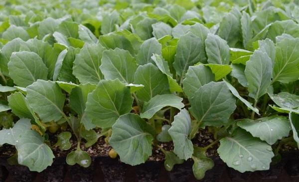 Сроки для посадки рассады капусты