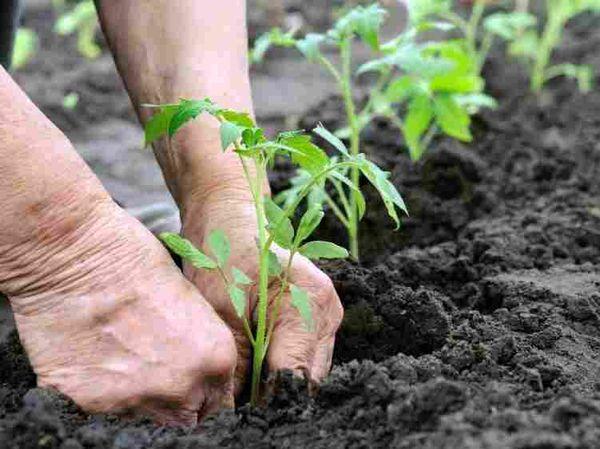 Для посадки рассады необходимо выбрать открытое и солнечное место