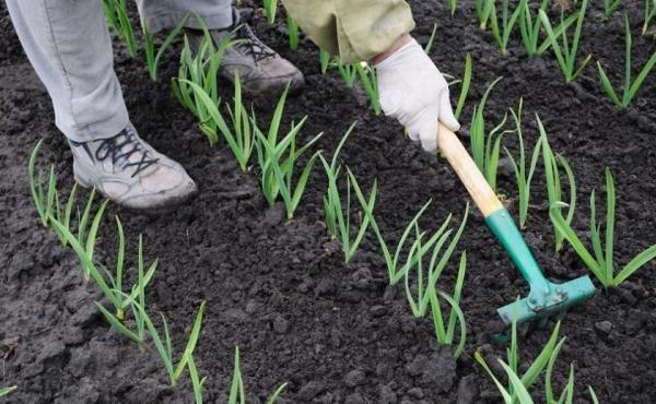Периодически грядки с чесноком нужно рыхлить и удалять сорняки