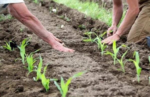 Сажаем кукурузу