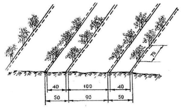 Схема ленточно-гнездового способа посадки томатов
