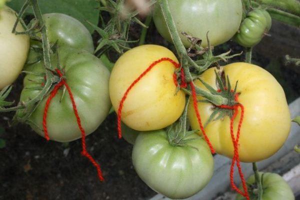 Подвязка кустов требуется только в случае множества плодов помидор