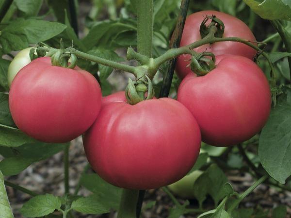 Розовый томат сорт Торбей f1