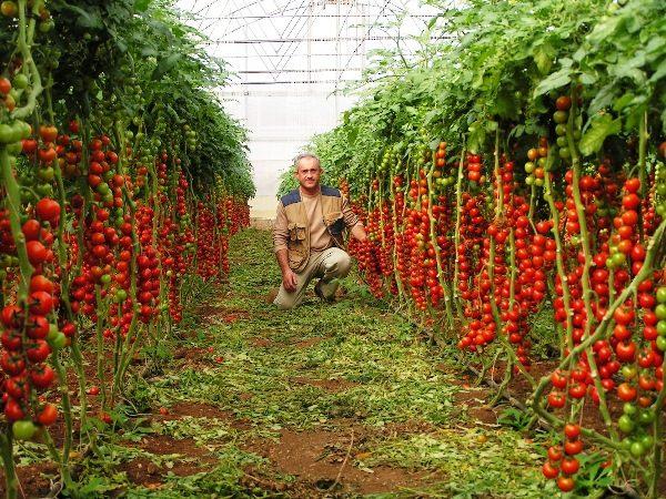 Среди преимуществ томатов Рапунцель стоит отметить их количество на одном растении и отличный вкус