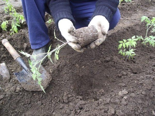 Помидоры Настенька высаживают в открытый грунт в середине апреля - начале мая