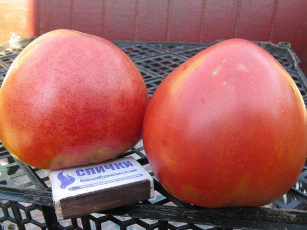Средний вес плода Абаканского Розового - 200-300 грамм