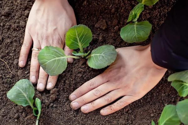 Высаживается капуста Валентина f1 в открытый грунт после появления на рассаде четырех основных листиков