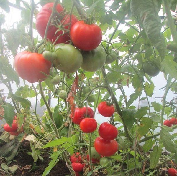 Томат этого сорта можно выращивать как в теплице, так и в открытом грунте